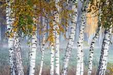 Row Of Birch Trees With Yellow Leaves In The Fog. Selective Focus.