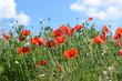 Blühstreifen in der Osteifel - Mohnblumen am Feldrand
