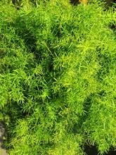 Green Leaf Of Feather Fern Plant. Asparagus Setaceus