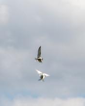 Pair Of Common Terns Fighting ...
