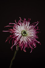 Pink Chrysanthemum On Black Ba...