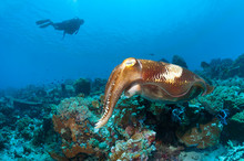Cuttlefish In The Shallows