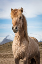A Tan Icelandic Horse Against The Mountains.