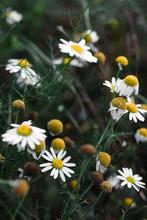 White Daisy Wild Flowers