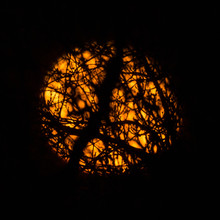 The Harvest Moon Through Tree Branches.