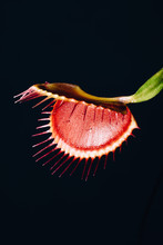 Dionaea Muscipula ? A Carnivor...