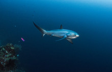Thresher Shark On The Reef