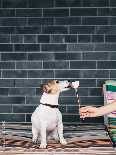 Adorable dog licking treat on stick