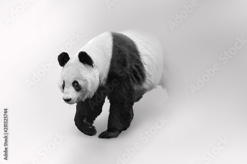 Giant panda bear adored by the world and considered a national treasure in China Fototapeta
