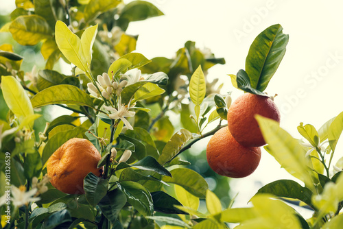 Photo Three bitter orange fruit on a tree with white blossoms No people Selective focu