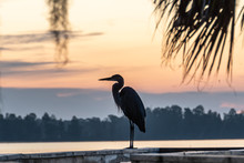 Silhouette Of A Great Blue Heron Watching The Sunrise View