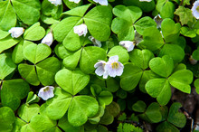 First Spring White Flowers In The Forest. Blooming Shamrock ( .  Oxalis).