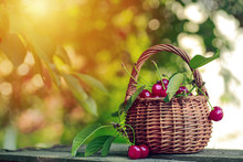 Wicker Basket Full Of Red Ripe Cherry Berries On Garden Wooden Table.. Cherries With Leaves And Cuttings Collected From The Tree. Harvesting Berries In The Country And On An Industrial Scale.