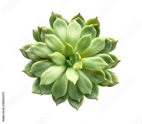 Obraz Fresh succulent on white background - fototapety do salonu