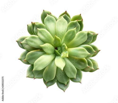 Cuadros en Lienzo Fresh succulent on white background