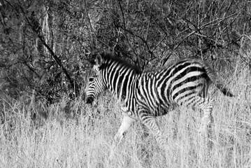 Fototapeta na wymiar Zebras on Safari in Africa