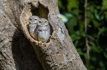Two Spotted Owlet Standing On ...