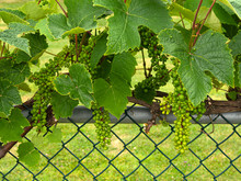 Green Grape Vine With Developi...