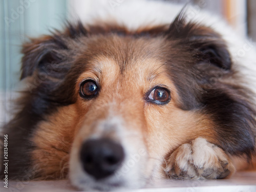 Closeup portrait of Shetland sheepdog, cute adult domestic animal, best friend for human, beautiful pedigreed dog face, close up black eyes with nose, funny dog expression Canvas Print
