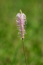 Plantain Or Plantago Or Fleawort Herbaceous Plant With Single Stalk Full Of Numerous Tiny Light Pink And White Wind Pollinated Flowers In Local Garden On Warm Sunny Spring Day