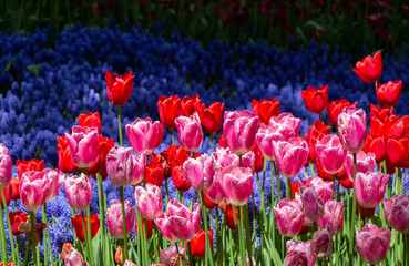 Blooming tulip flowers in s...
