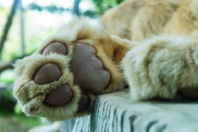 Paw Of Lion Showing Pads, Close-up. Concept Of Animals In The Zoo