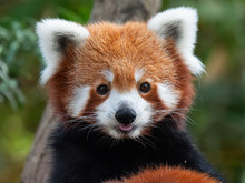 Endangered Red Panda In Captiv...