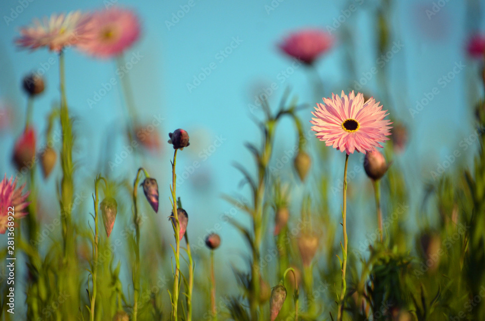 Fototapeta Spring background of Australian pink everlasting daisy meadow under a blue sky. Also known as strawflowers and paper daisies.