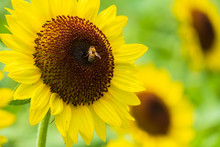 ひまわりの蜜を集める...