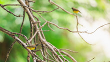 Two Male Olive-backed Sunbird ...