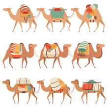 Camels Set, Desert Animals Walking With Heavy Load, Side View Vector Illustration