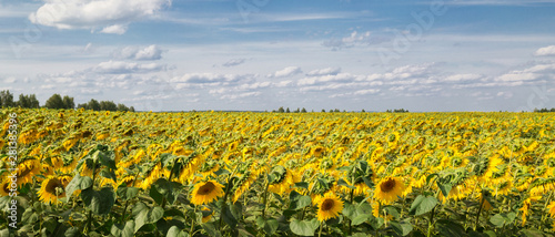 obraz lub plakat A field with sunflowers. Summer landscape