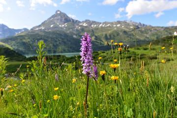 Breitblättriges Knabenkraut am Kopssee Montafon-Vorarlberg