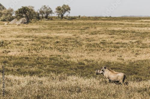 One common warthog in savanna on safari in Kenya national park Wallpaper Mural