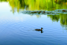 A Duck Swims In A Pond On A Bl...