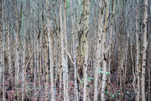 The Upright Trunks Of The Mangrove Tree (Rhizophora Apiculata) In The Mangrove Forest With Selective Focus