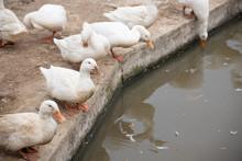 A Flock Of Pekin Or White Peki...