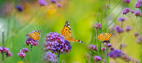 Obraz na plátně  The panoramic view the garden flowers and butterflies Vanessa cardui