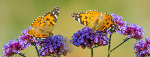 The Panoramic View The Garden Flowers And Butterflies Vanessa Cardui