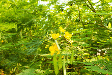 Yellow Royal Poinciana Flower