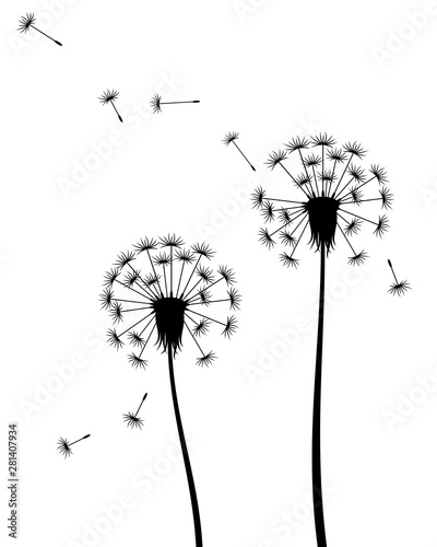 Vector illustration of isolated silhouette of dandelions with flying seeds in black color on white background.
