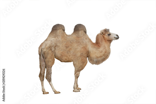 Canvas camel isolated on white background