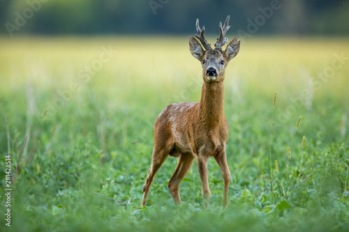 Cuadros en Lienzo Dominant roe deer, capreolus capreolus, buck with massive antlers sniffing on green agricultural field in summer from low angle view with space for copy