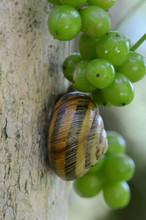 Large Grape Snail Among Unripe...