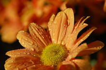 Chrysanthemum Orange Flower Wi...