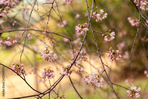 Cherry Blossom - Sakura flower - Japanese cherry, Prunus serrulata Canvas Print