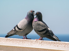 Two Pigeons In Large Summer By...