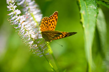 Butterfly On Flower, Arethusan...