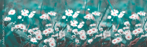 Cuadros en Lienzo Magnificent flowering of white daisies on a blue and green background, blurred, selective focus