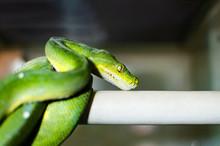 The Green Tree Python (morelia...